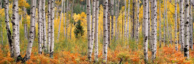 Wald Bilder Rusty Ferns and Autumn Aspens von Steven Friedman