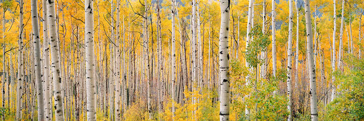 Translucent Aspens by Steven Friedman