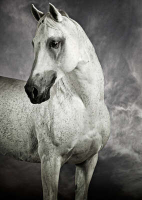 Arabian Racing Stallion von Tariq Dajani