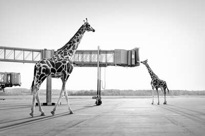 wall art wildlife prints animals  Giraffes by Tom Nagy