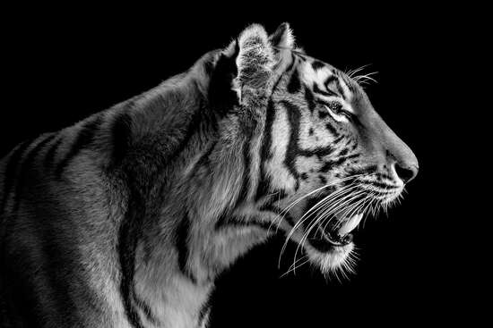 Tigress Portrait