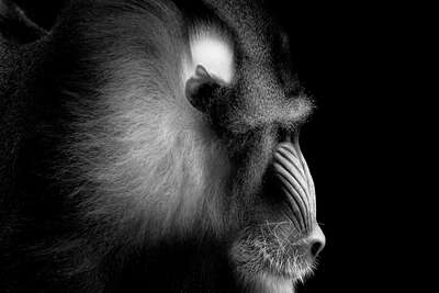 Mandrill Portrait by Wolf Ademeit