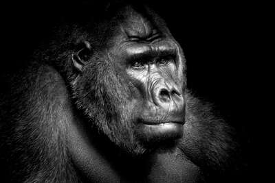 Gifts under €650: Gorilla Portrait by Wolf Ademeit