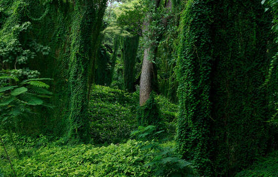 Forest in Cuba I